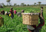 Achieving food security in Africa